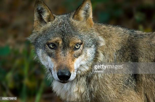 Closeup of European grey wolf in forest