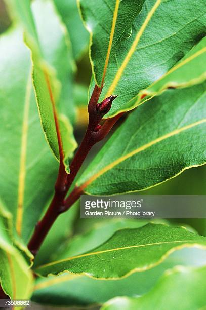 Close-up of evergreen Laurel (Laurus noblis) leaves