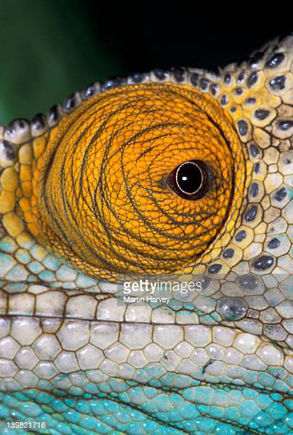 Closeup of eyes of Parsons Chameleon, Chamaeleo parsonii, which move independently of each other, Madagascar, Africa