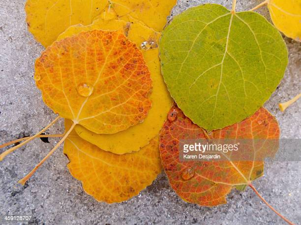 Close-up of fall colored aspen leaves on snow