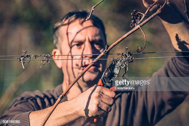Close-up of Farmer Pruning Grapevine in Vineyards in Winter