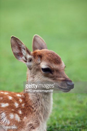 Close-up of fawn : Photo