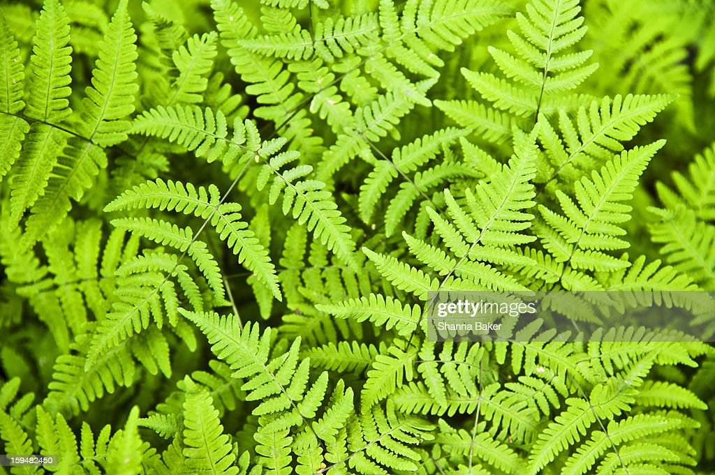 Close-up of ferns on a rainforest floor : Stock Photo