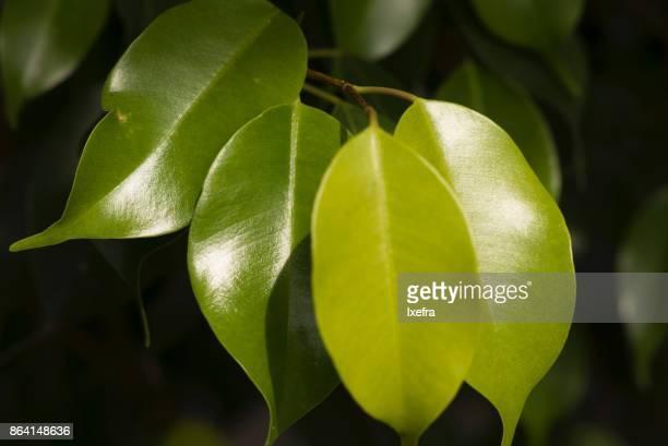 Closeup of Ficus leaves (Ficus Benjamin, weeping fig, Benjamin fig, Ficus tree)