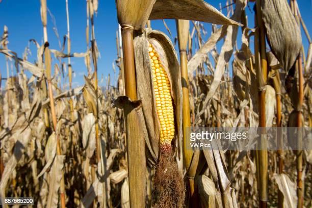 Closeup of field corn in corn field in Jarrettsville Maryland USA