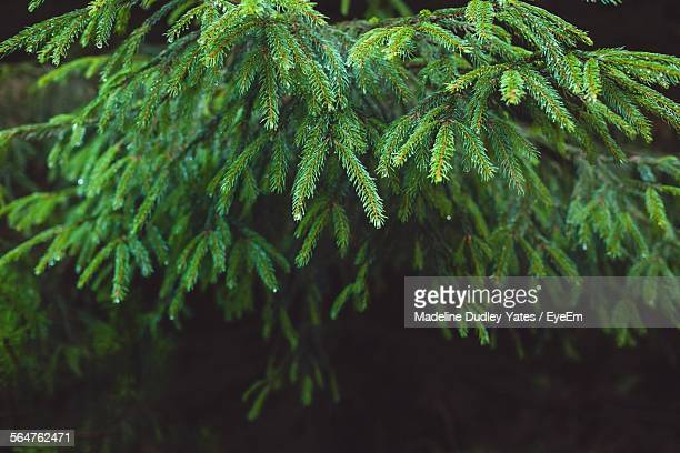 Close-Up Of Fir Tree