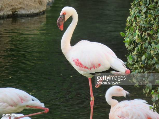 Close-up of flamingo resting on one leg