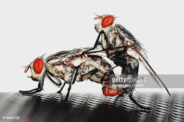 Close-Up Of Flies Mating On Metal Against White Background