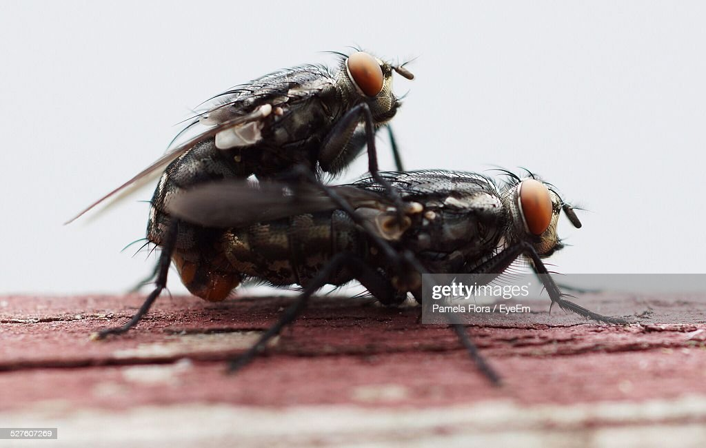 Close-Up Of Flies Mating On Wood