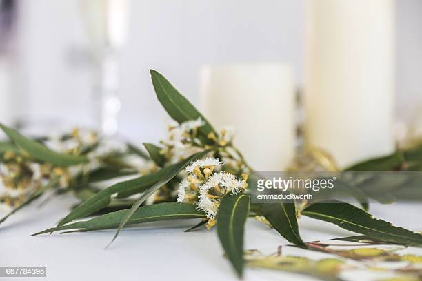 Close-up of flowering eucalyptus gum leaves and candles