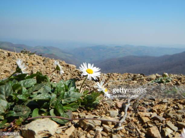 Close-Up Of Flowers Blooming On Mountain