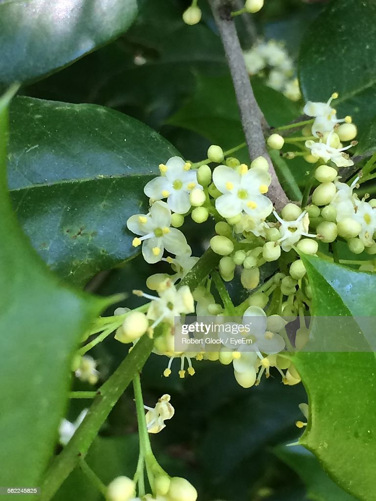 Close-Up Of Flowers Growing On Holly Tree Outdoors