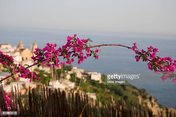 Close-up of flowers on a branch with a town in the background, Amalfi Coast, Maiori, Salerno, Campania, Italy