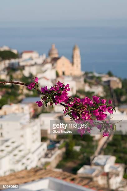 Close-up of flowers on a plant, Parrocchiale di San Gennaro, Amalfi Coast, Vettica Maggiore, Salerno, Campania, Italy