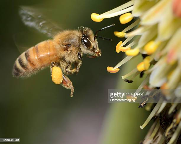 Close-up of flying honey bee landing on yellow flowers