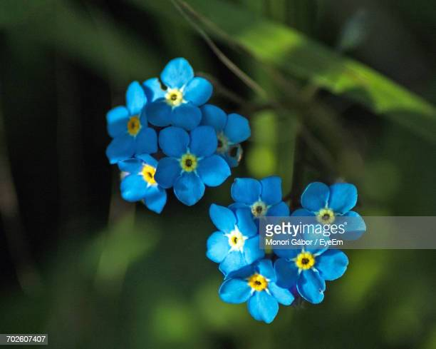 Close-Up Of Forget-Me-Not Flowers