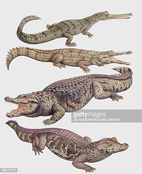 Closeup of four alligatoridae reptiles