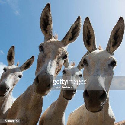 Close-up of four donkeys staring at camera