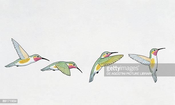 Closeup of four rubythroated hummingbirds flying
