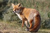 Close-Up Of Fox In Forest