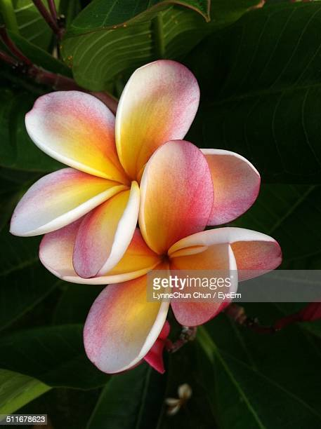 Close-up of frangipani flower