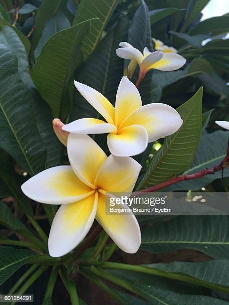 Close-Up Of Frangipani Flowers Blooming Outdoors