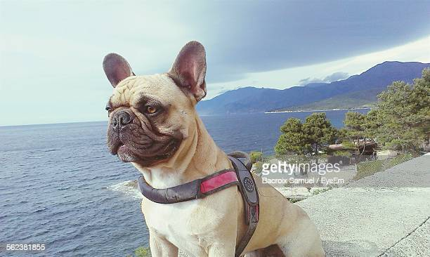 Close-Up Of French Bulldog Looking Away By Sea