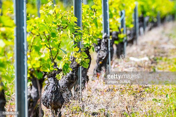 Close-up of french vine trunk with young grapes in spring