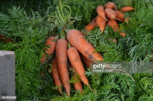 Close-up of fresh carrots