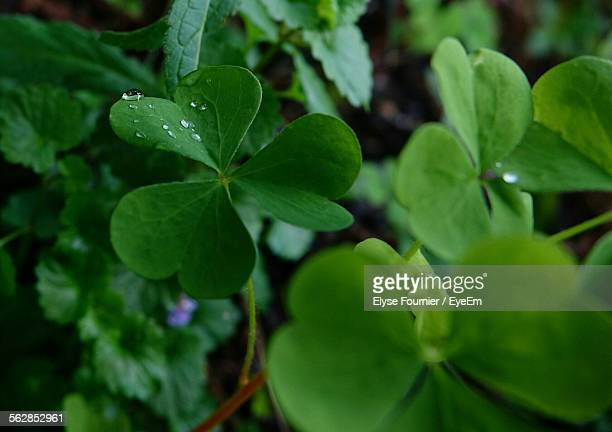 Close-Up Of Fresh Clovers Growing On Field