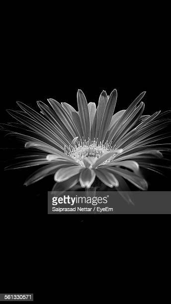 Close-Up Of Fresh Flower Against Black Background