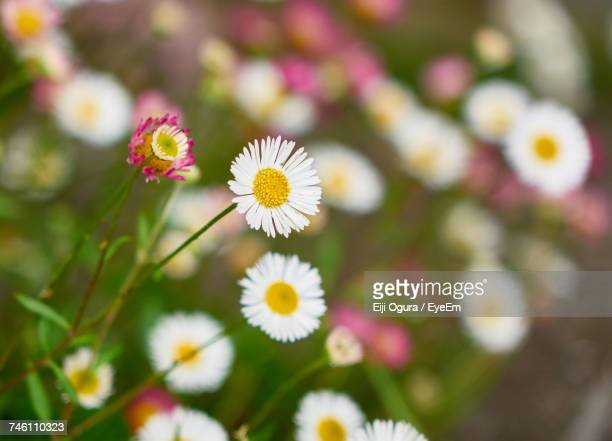 Close-Up Of Fresh Flowers Blooming Outdoors