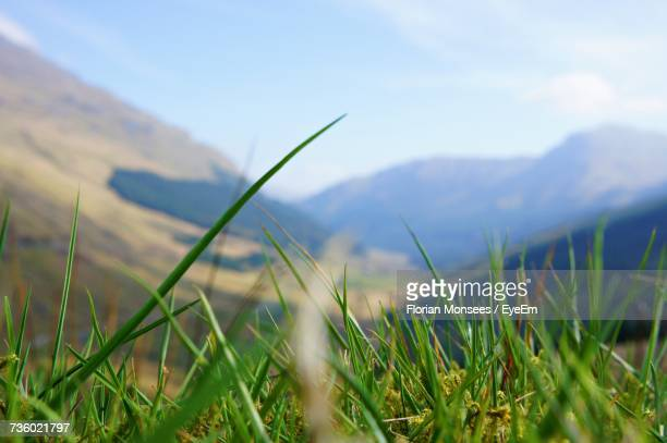 Close-Up Of Fresh Grass In Field Against Sky
