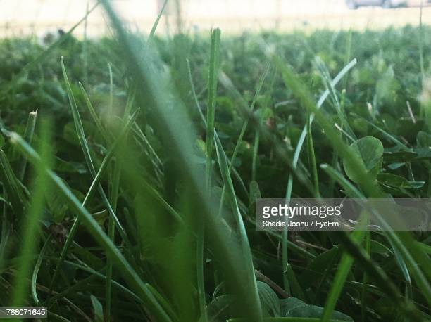 Close-Up Of Fresh Green Grass In Field