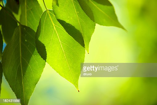 Close-up of fresh green leafs