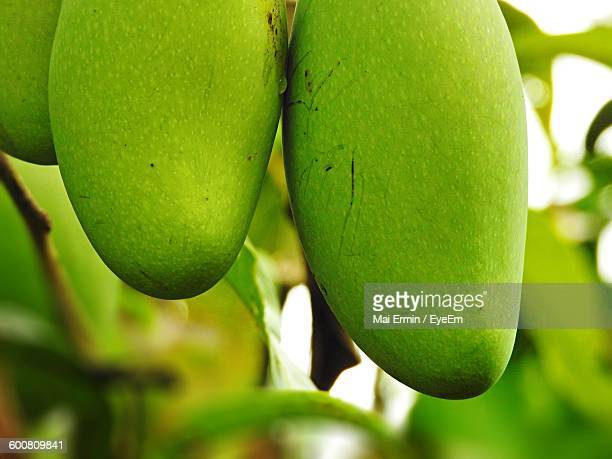 Close-Up Of Fresh Green Mangoes On Tree