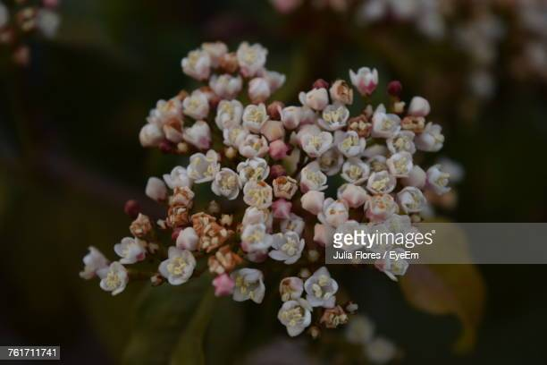 Close-Up Of Fresh Hydrangeas Blooming Outdoors