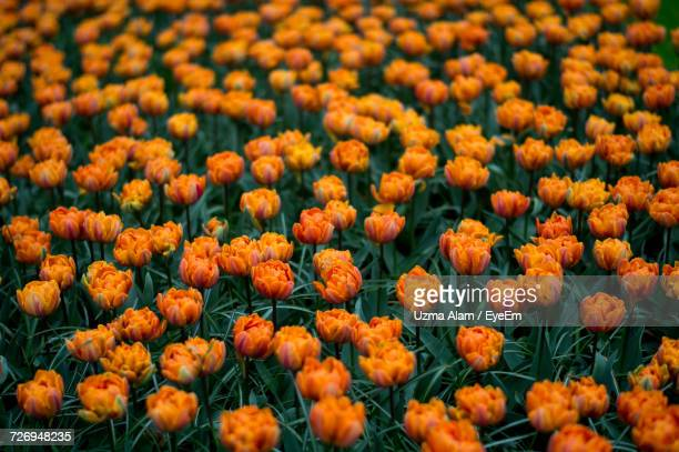 Close-Up Of Fresh Orange Flowers Blooming In Field