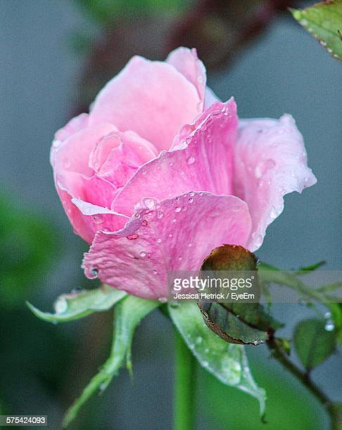 Close-Up Of Fresh Pink Rose With Rain Drops Blooming In Park