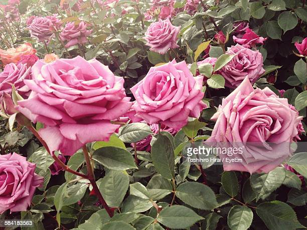 Close-Up Of Fresh Pink Roses Blooming In Garden