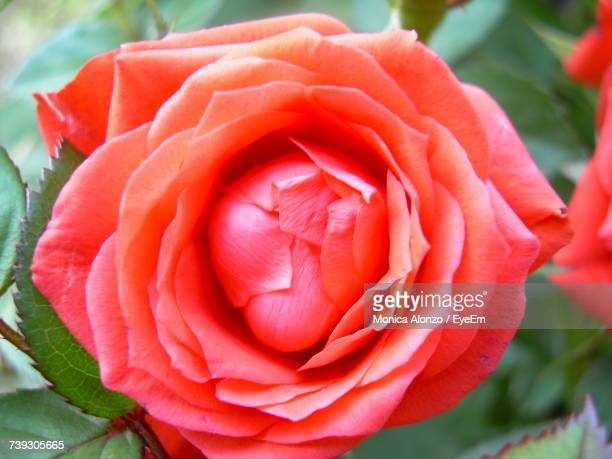 Close-Up Of Fresh Red Rose Blooming Outdoors