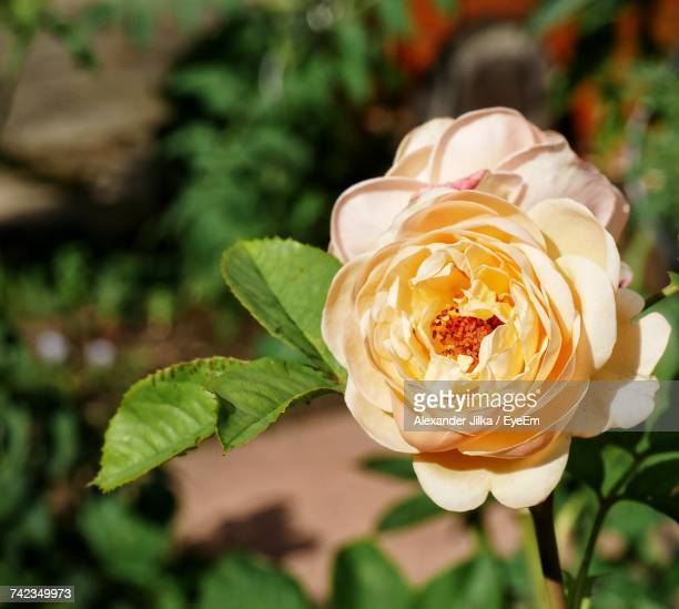 Close-Up Of Fresh Rose Blooming Outdoors