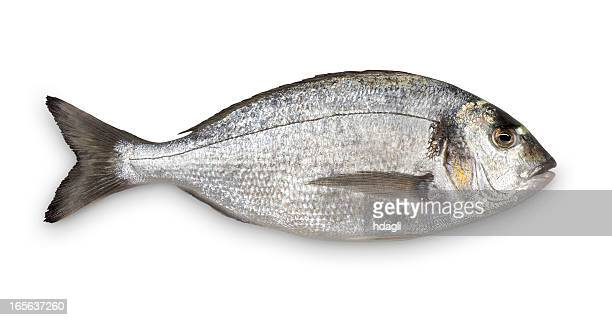 Close-up of fresh Sea Bream against white background