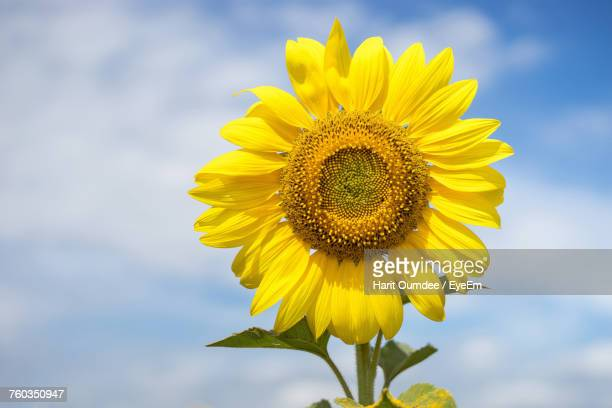 Close-Up Of Fresh Sunflower Blooming Against Sky
