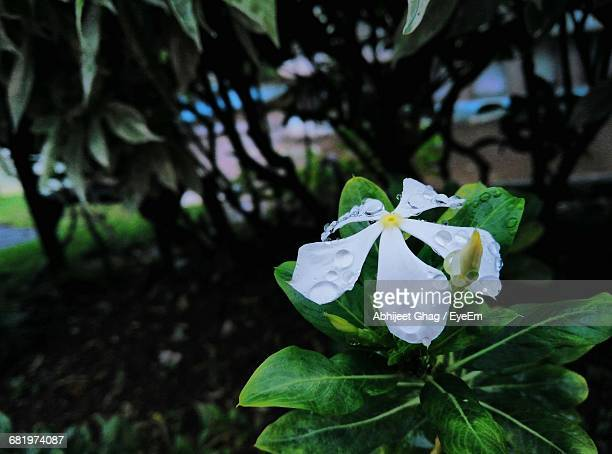 Close-Up Of Fresh Wet White Flower Blooming Outdoors