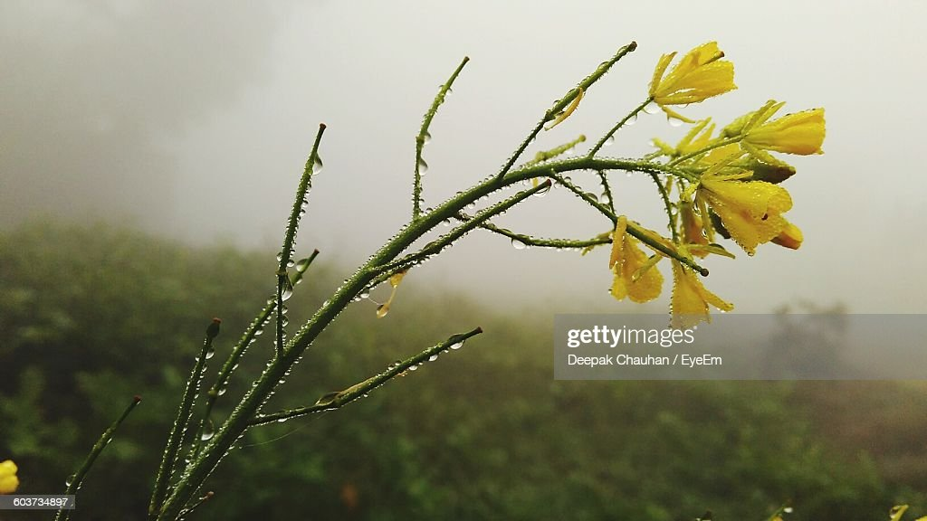 Close-Up Of Fresh Wet Yellow Flowers On Field In Rain