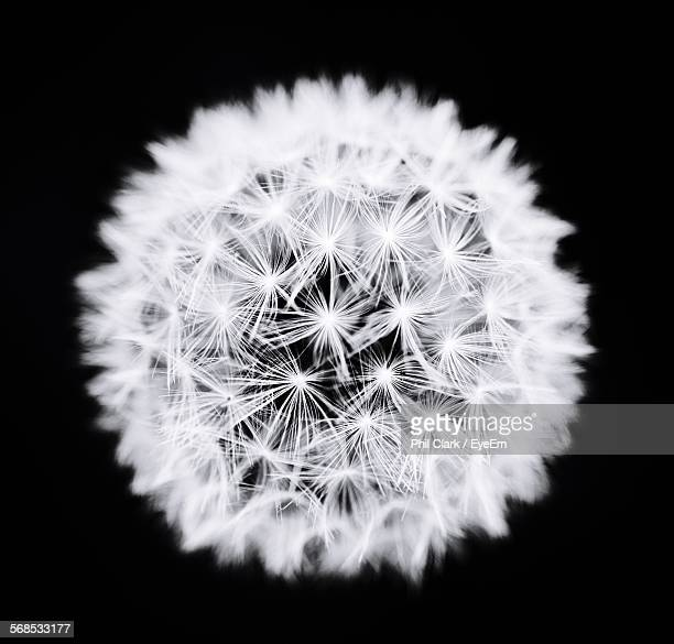 Close-Up Of Fresh White Dandelion Against Black Background