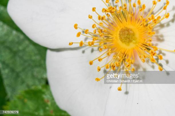 Close-Up Of Fresh White Flower Blooming Outdoors