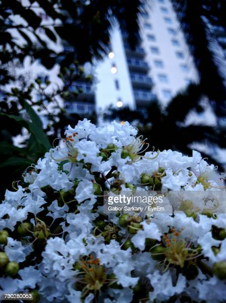Close-Up Of Fresh White Flowers Blooming In Park