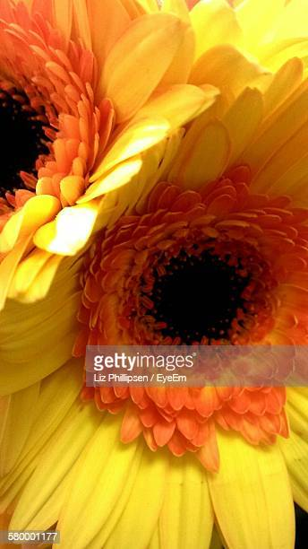 Close-Up Of Fresh Yellow Gerbera Daisies Blooming